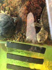 3 Wasserschildkröten an liebevolle Hände
