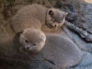 BHK Kittens