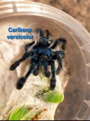 Biete verschiedene Vogelspinnen Caribena ex