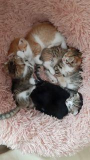 Scottish Katzen