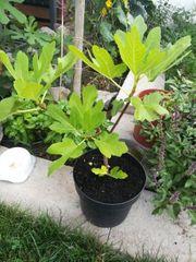 Feigenbaum gelbe feigen
