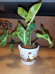 Syngonium podophyllum Purpurtute im Topf