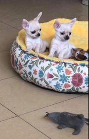 Chihuahua von Eltern mit Champions-Titel