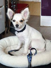 anhängliche liebevolle Chihuahua-Welpen