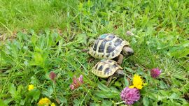 Bild 4 - Nachzucht 2020 Griechische Landschildkröten - Spiegelau Holzhammer