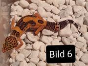 Leopardgeckos NZ aus 2020
