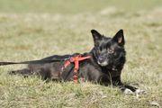 Blacky, Schipperke Chihuahua