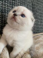 Vier wunderschöne Scottisch Fold Kitten