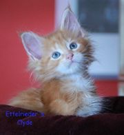 Typvoller Maine Coon Kater red-tabby