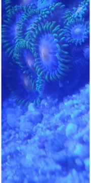 Zoanthus Blue Angel