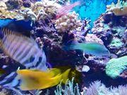 Meerwasser Clownfisch Lippfisch Grundeln