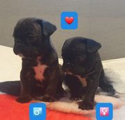 2 süße Frops Frenchie Pug