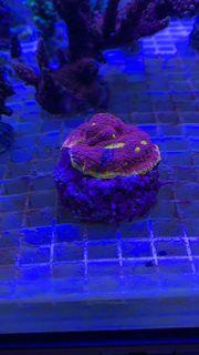 Meerwasser Aquarium Koralle chalice flaming