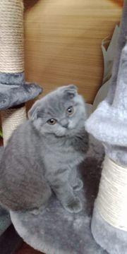 BKH Scottish fold Kitten auszugsbereit