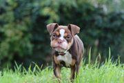 New English Bulldog Hündin