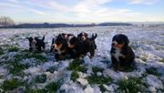 Bernersennenwelpen Bernersennenhund Welpen