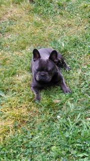 französischer Bulldogge Deckrüde