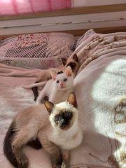 Siam und Angora Katzen