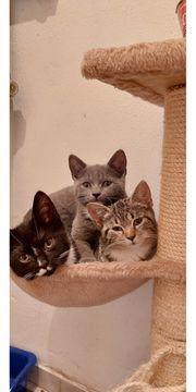 BKH-Mix Kitten bereit zum Auszug