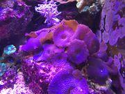 Korallen Scheibenanemone