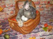 Französische Bulldogge Welpen suchen ein