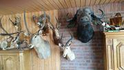 Tierpräparat Sammlung aus Nachlass