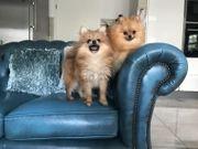 Pomeranian zwergspitz Hündin und Rüde