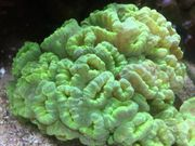 Caulastrea curvata NeonGrün - Fingerkoralle - Weichkoralle