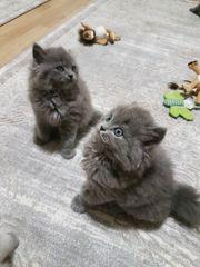 Süße Britisch Langhaar Kitten