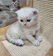BKH Skottisch fold Kitten