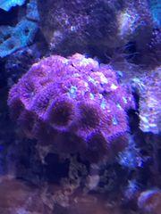 Korallen Blastomussa Merleti großpolypige Steinkoralle