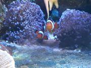 Clownfische Paar Amphiprion ocellaris