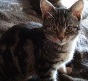 Wunderschöne Kitten Katzenbabys BKH Mix