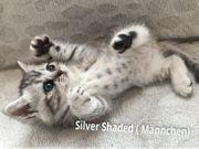 Reinrassige BKH Kitten Silver Shaded