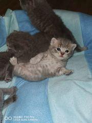 Bkh kitten Nur noch 1