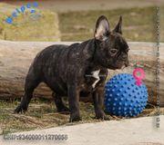Charmante Französische Bulldoggen