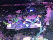 Günstig Korallen abzugeben