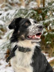 Wunderschöner Border Collie Labrador-Mix Deckrüde