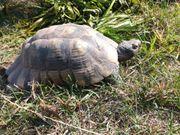 Breitrandschildkröten Test marg männlich