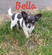 Chihuahua Welpen suchen liebevolles neues