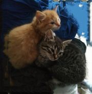 Katzenkinder Perser-Hauskatzen-Mix Kitten