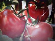Wolgogradskij alte russische Fleisch Tomate