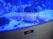 Axolotl bei Bedarf mit Aquarium