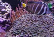 Meerwasser Krustenanemone