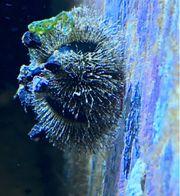 Meerwasser Mespilia globulus Kugel-Seeigel zu
