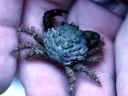 Meerwasser Krabben Mithrax gegen Kugelalgen