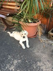 Labrador welpe 9