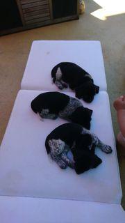 Deutschdrahthaar - Beagle Welpen kaufen