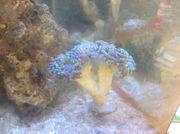 Hammer Koralle