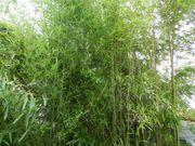 Hohe Bambus-Pflanzen